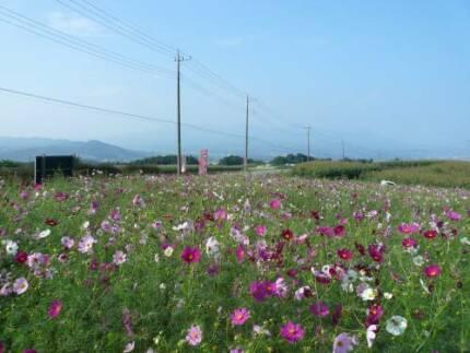鼻高展望花の丘 コスモス.jpg