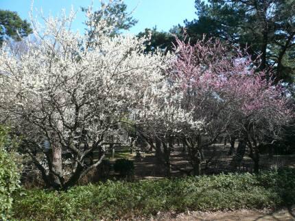敷島ばら園の梅