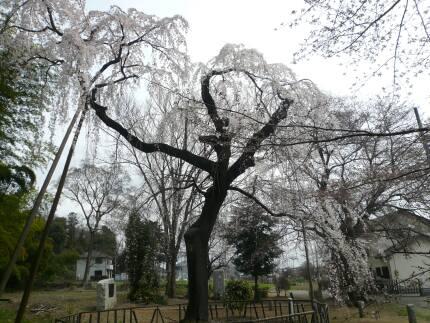 普門寺の桜2009_2.jpg