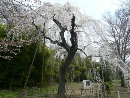 普門寺の桜2009_3.jpg