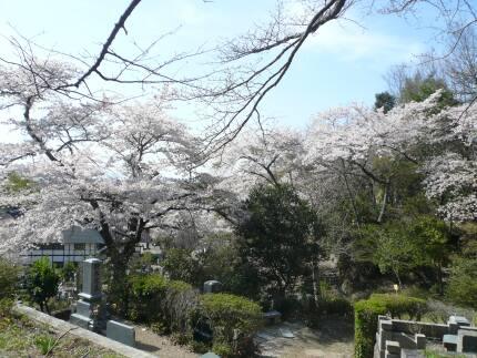 福聚寺の桜3.jpg