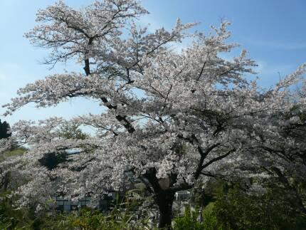 福聚寺の桜4.jpg