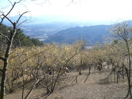 宝登山鑞梅4.jpg