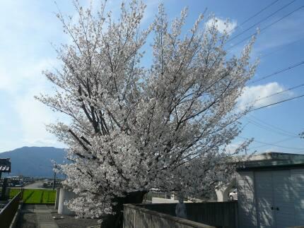 北一色の乳母桜2.jpg
