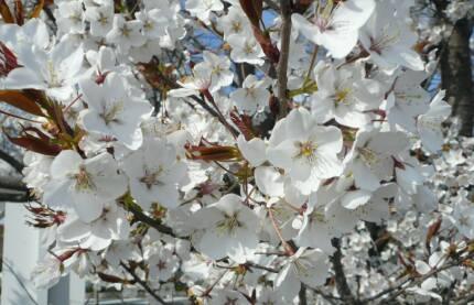 北一色の乳母桜 花.jpg