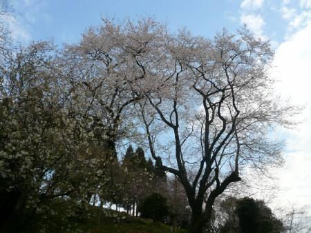 墨染桜1.jpg