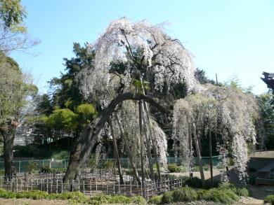満願寺の枝垂れ桜
