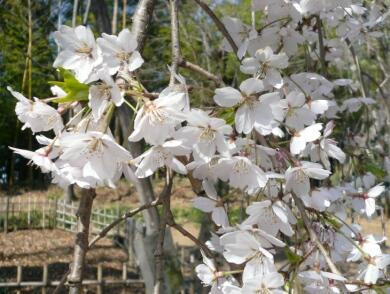満願寺の枝垂れ桜_花
