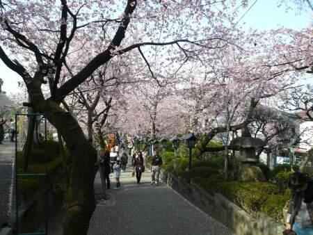 密蔵院の安行桜2.jpg