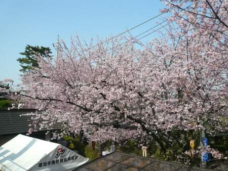 密蔵院の安行桜3.jpg