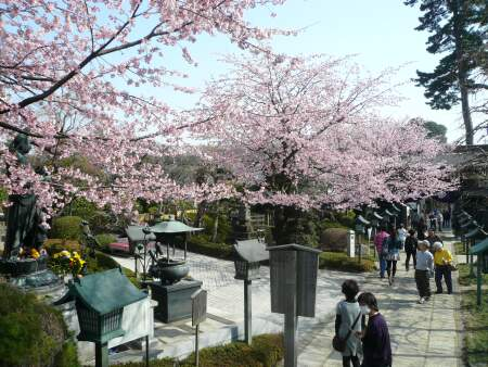 密蔵院の安行桜4.jpg
