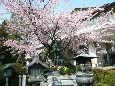 密蔵院の安行桜6.jpg