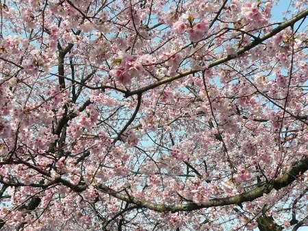 密蔵院の安行桜5.jpg