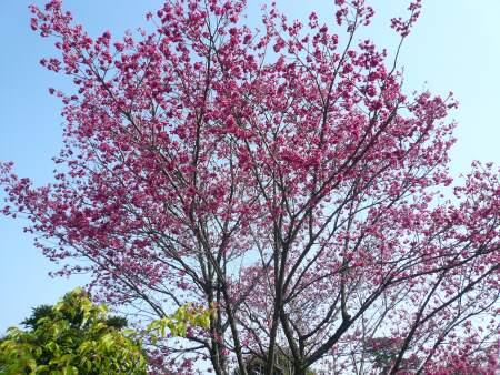 密蔵院の台湾緋桜.jpg