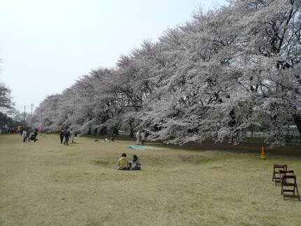 無線山の桜2.jpg