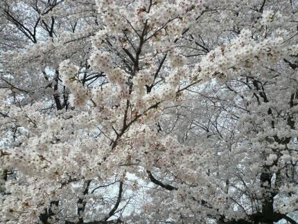 無線山の桜4.jpg