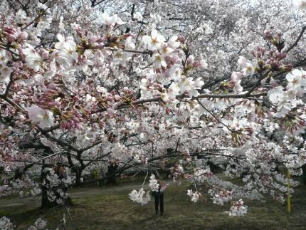 無線山の桜5.jpg