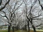 無線山の桜並木 大.jpg