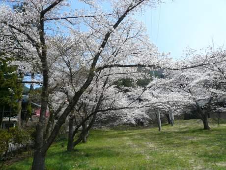 明徳寺 桜4.jpg