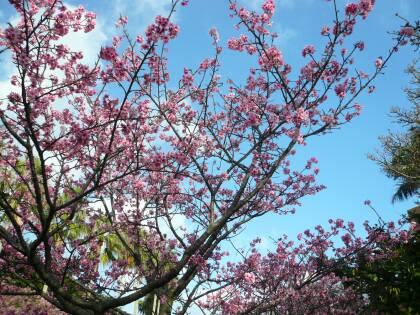 与儀公園の桜