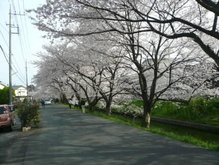 誉桜3.jpg