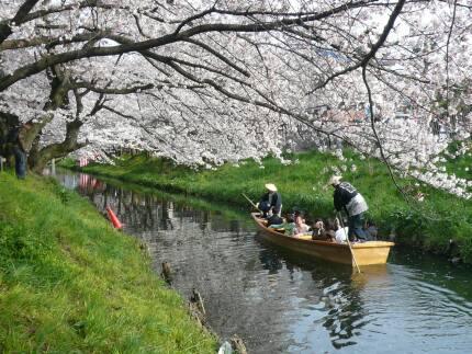 誉桜4.jpg