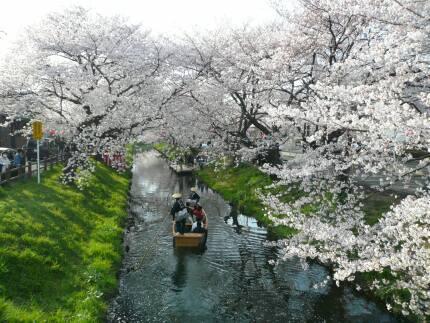 誉桜6.jpg