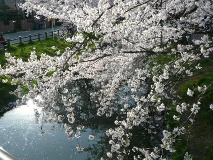 誉桜7.jpg
