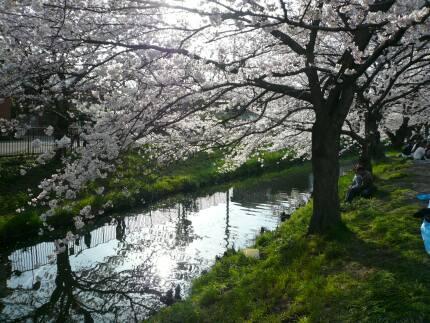誉桜8.jpg