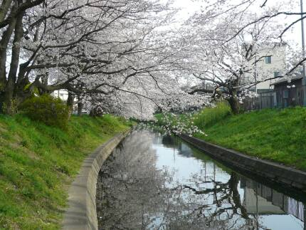 誉桜2.jpg