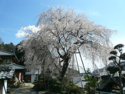 林陽寺のしだれ桜2.jpg