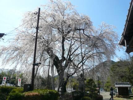 林陽寺のしだれ桜3.jpg