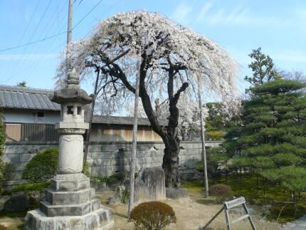 曼荼羅寺の桜2.jpg