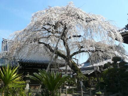 圓明寺の枝垂れ桜2.jpg