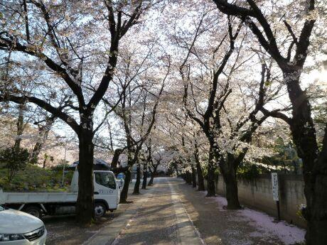 勝願寺の桜3.jpg