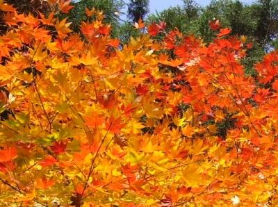 安久津八幡神社 紅葉