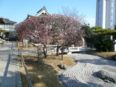 月照寺の梅