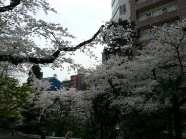 鳩山会館の桜