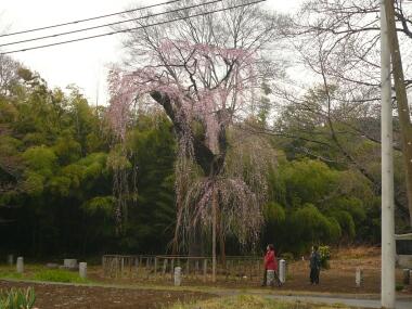 普門寺の桜
