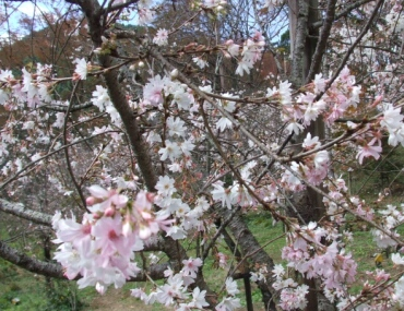 城峯公園 冬桜