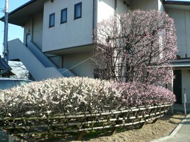 柿本神社 八房の梅