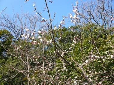 柿本神社の梅