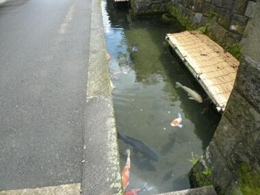鯉が泳ぐ堀