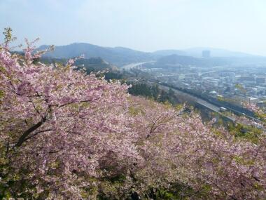 松田の河津桜
