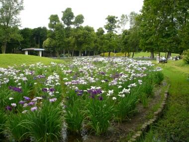 水元公園の菖蒲