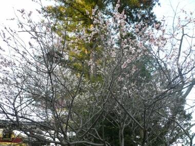 大前神社の梅
