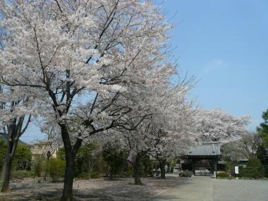 長福寺の桜