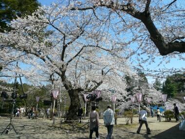 横手城 桜