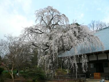 慈眼寺の桜