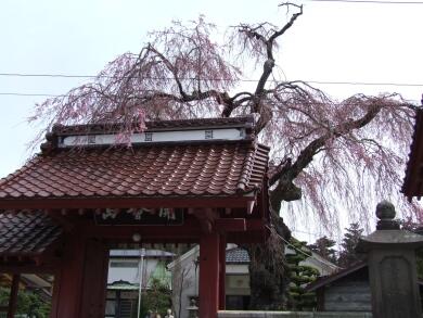 乙姫桜1.jpg